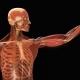 Калькулятор площади поверхности тела (взрослые)